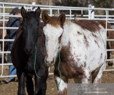 11/10/14 Wyoming Checkerboard Horses available for adoption Feb 27,2015