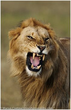 This image of a very – well – angry looking Lion was taken by ORYX leader Marius Coetzee in Kenya.