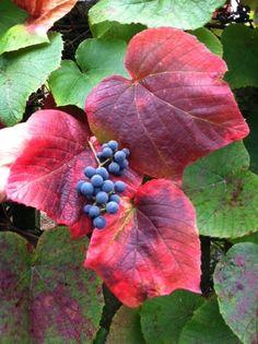 Vitis coignetiae « UW Botanic Gardens News