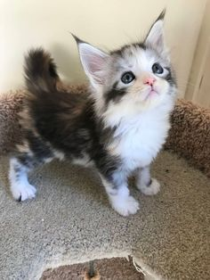 Interested in owning a Maine Coon cat and want to know more about them? The Maine Coon kitten adoption will Kittens And Puppies, Cute Cats And Kittens, Kittens Cutest, Pics Of Kittens, Kitten Pics, Cutest Cats Ever, Kitten Images, Pretty Cats, Beautiful Cats