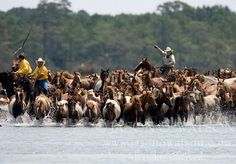 Wild Ponies enter the water to swim across Assateague Channel. You've never seen a sight as beautiful as this.