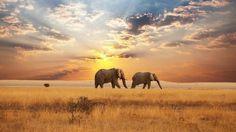 Elephants, during sunrise