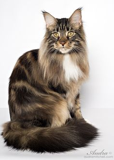 """SaraJen Woodford Reserve, """"Woodie"""". SaraJen Maine Coon Cats - Male Cats"""