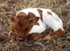 texas longhorn cattle - Google Search