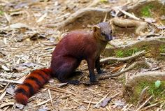Ring-tailed mongoose is the most widespread carnivore on the island of Madagascar. (Photo: Dennis van de Water/Shutterstock)