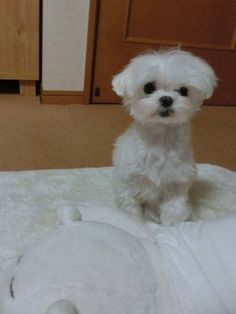 Maltese...hypoallergenic and smart little dogs.