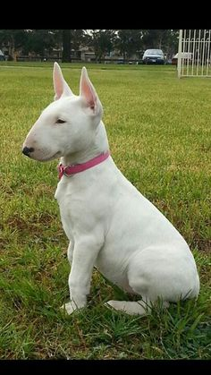 .Love the Bull Terriers.