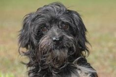 Boron is an adoptable Poodle Dog in Mishawaka, IN. Boron is a cute little guy who came to us from a kill shelter in Kentucky. He is a little timid & we will not place him in a high energy house hold o...
