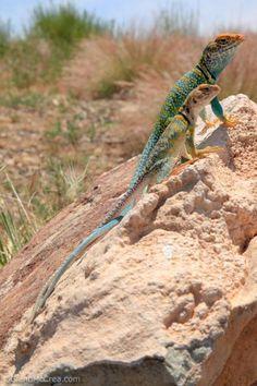 Male and Female Eastern Collared Lizards (Crotaphytus collaris), Colorado National Monument, Colorado - Photography By Glenn McCrea  www.glennmccrea.com