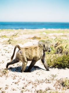 Baboon in South Africa   photography by http://www.jenhuangblog.com/