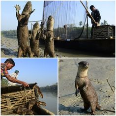 Old Bangladeshi tradition, fishing with otters