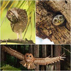 Majestic owls captured camera
