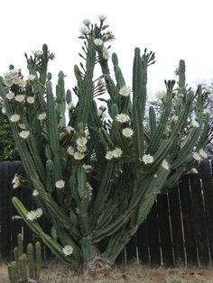 Cereus hildmannianus #cactusflowerplants
