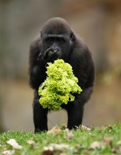 baby gorilla eating a salad