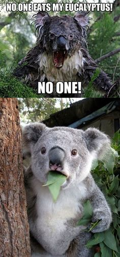 """If I replace """"eucalyptus"""" with """"chocolate""""...this suddenly becomes seriously relatable. That Koala's face says it all :P"""