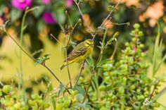 The Green Singing finch Photo by Kakai W. — National Geographic Your Shot