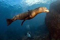 León marino de california (Zalophus californianus)