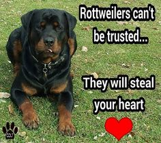 True story!!! I had my heart stolen by 2 of the greatest rotties to have ever graced this world!