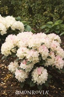 Dreamland Rhododendron - Dense-growing evergreen shrub valued for its large trusses of showy soft-pink flowers. Prefers cooler regions but some protection from winter wind is helpful. A wonderful accent plant for containers.