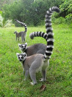 Ring Tailed Lemurs - in danger of extinction.  How can we be so stupid to keep making human babies and kill off all the other amazing creatures!?
