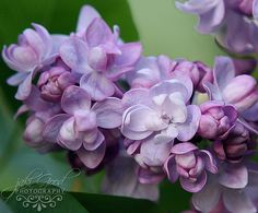 <3 double lilacs are my absolute favorite... hurry up spring!
