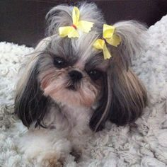 Lola my Imperial Shih Tzu