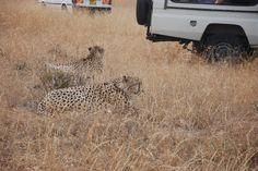 2 cheetah cubs