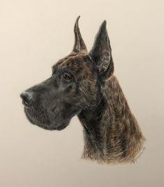 Cruiser - Great Dane commissioned piece in color pencil. completed 2/13/18