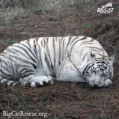 Zabu, catching some ZZZZZs. Is anyone else sleepy? I Love Cats, Big Cats, Funny Cats, Funny Animals, Wild Animals, Stop Cats From Peeing, Cat Sneezing, Big Cat Rescue, World Cat