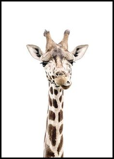 Cute and funny picture of a giraffe. Did you know that the giraffe is the tallest animal in the world (about 16 feet), and a baby giraffe is already about feet when it's born? Batman Poster, Poster Xxl, Lion Poster, Nature Posters, Love Posters, Beautiful Posters, Buy Posters, Morning Sun, Poster Mural