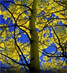 Quaking Aspen - Populus tremuloides; fast growing; 40' to 50' high w/25' spread