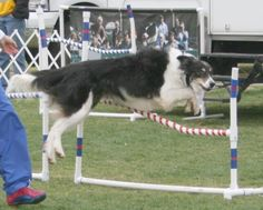 jumping-border-collie