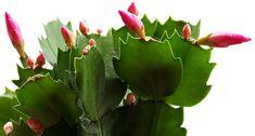 Bizony ebben az időszakban több tennivaló van a karácsonyi kaktusz körül. Adunk pár tippet, ami segíti növényedet, hogy tényleg az ünnepre időzítse virágázást.