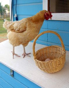 The Chicken and The Egg | Raising Chickens in Arizona winwinfarm.com