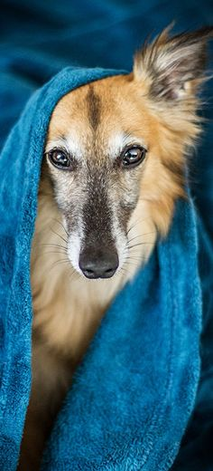 Merlin   Silken Windsprite Golden Merlo   #silkenwindsprite #windsprite #windhund #sighthound #hund #hunde #hunderasse #seltene #mittel #langhaar   Foto: https://www.goldenmerlo.de