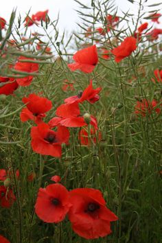 field of poppys by *Sceptre63