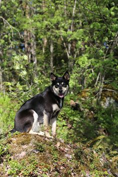 Dog, Lapponian herder Seita is enjoying the view Husky, Lol, Cats, Animals, Gatos, Animales, Animaux, Animal, Cat