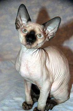 Devon Rex Cat: Photos  Breed Information
