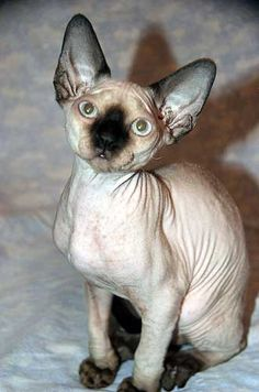 Devon Rex Cat: Photos  Breed Information