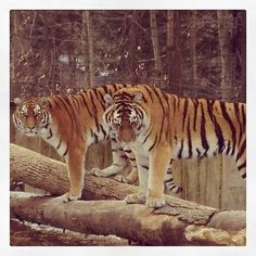 The Tigers at the Binghamton Zoo at Ross Park