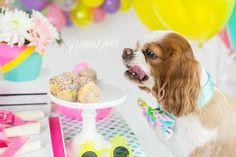 Dog Cake Smash | Dog Birthday Party Inspiration | One Stylish Party | Cavalier King Charles Spaniel | Cleveland, Ohio Studio | Start With The Best | Brittany Gidley Photography LLC