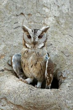 The Indian Scops Owl feeds mainly on insects including beetles and grasshoppers. They will also occasionally take vertebrates such as lizards, mice and small birds. At Ranthambore- Seen airport hotel Beautiful Owl, Animals Beautiful, Cute Animals, Owl Photos, Owl Pictures, Owl Bird, Pet Birds, Small Birds, Saw Whet Owl