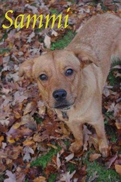 965 // SAMMY // 10 Golden Retriever  mix• Young • Male • Medium Mahoning County Dog Pound & Adoption Center Youngstown, OH  http://www.petfinder.com/petdetail/27677744/