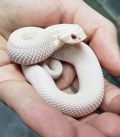 A hissed off super conda snow western hognose. Pretty Snakes, Beautiful Snakes, Animals Beautiful, Cute Baby Animals, Animals And Pets, Funny Animals, Small Animals, Cute Reptiles, Reptiles And Amphibians