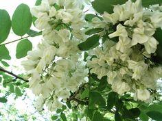 Красиво цветет акация! цвет акации, белые цветочки