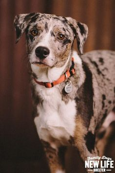 Austyn is an adoptable Catahoula Leopard Dog searching for a forever family near Portland, OR. Use Petfinder to find adoptable pets in your area.