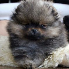Marvelous Pomeranian Does Your Dog Measure Up and Does It Matter Characteristics. All About Pomeranian Does Your Dog Measure Up and Does It Matter Characteristics. Spitz Pomeranian, Teacup Pomeranian, Pomeranians, Cute Baby Animals, Animals And Pets, Cute Puppies, Cute Dogs, Corgi Puppies, Akc Breeds