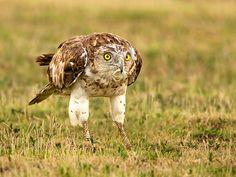 Short-toed Snake Eagle, Kabini