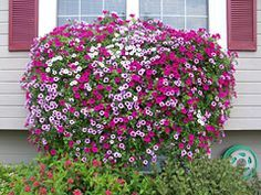 For huge hanging baskets use POTTING MIX not potting soil Plant Suggestions Wave Petunias Supertunias Surfinias Cascadia Petunias Super Cascade Petunias Tidal Wave Petuni. Outdoor Plants, Garden Plants, Outdoor Gardens, Potted Plants, Hanging Flower Baskets, Hanging Plants, Diy Hanging, Container Plants, Container Gardening