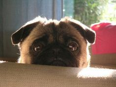 Pug...OMG! look at that face :)